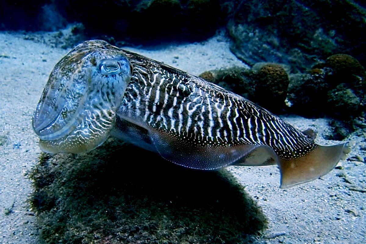 Sepia officinalis, Cuttlefish, Principe