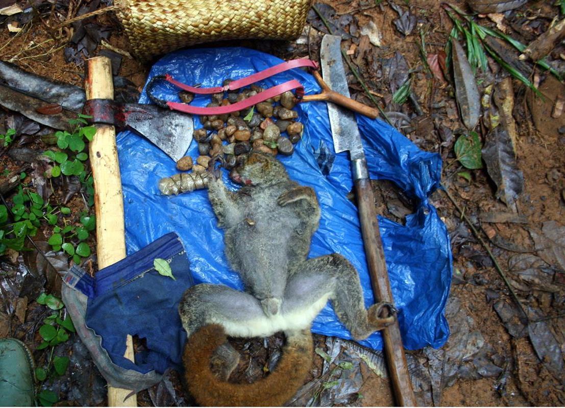 Illegal poaching in Betampona RNI, Madagascar