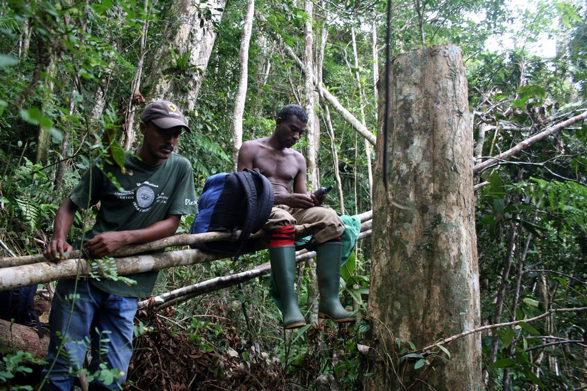 Illegal logging of rosewood, RNI Betampona, Madagascar