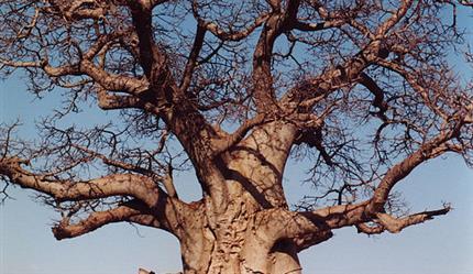 Te gast: De Grote Baobab | 1-2-3 september