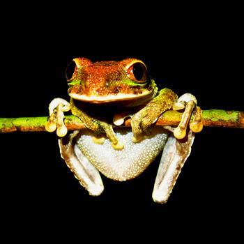 Gianttreefrog