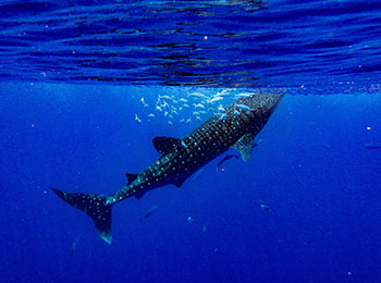 Snorkeling with whalesharks