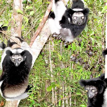 Indri Mada