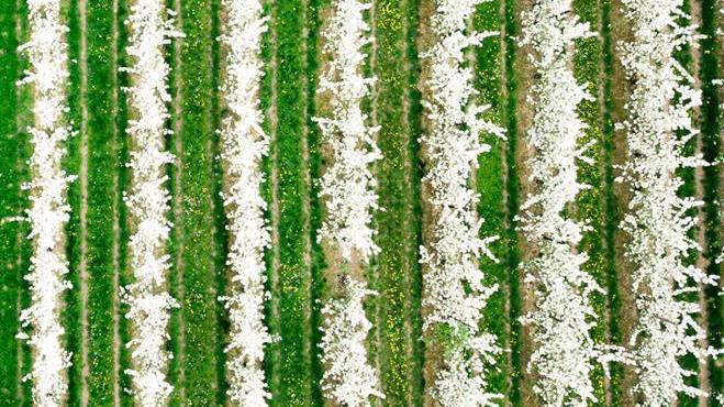 Bloesems in Limburg - Landbouw