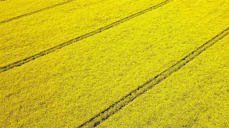 Koolzaad - Landbouw